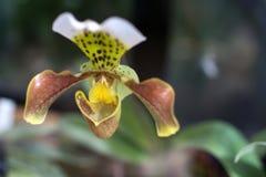 Lady& x27; cierre de la orquídea del s-deslizador para arriba Imágenes de archivo libres de regalías