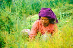 Lady cutting rice in Nepal Stock Photo
