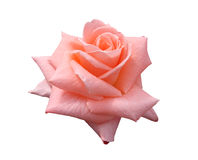 Lady Di Grandiflora Rose Royalty Free Stock Photography