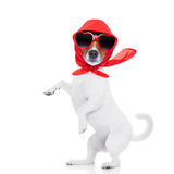 Lady diva dog. Crazy and silly jack russell diva lady dog posing and making a move, isolated on white background royalty free stock images