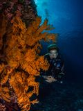 Lady diver and spectacular gorgonian. Female diver looking into the camera, hovering next to a giant orange Alcyonacea sea fan with blue water and the surface of Royalty Free Stock Images