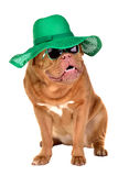 Lady dog wearing straw hat and sun glasses. Charming lady dog wearing green straw hat and sun glasses isolated on white background Stock Photos