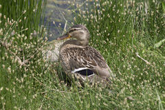Lady duck resting in the grass Royalty Free Stock Photography