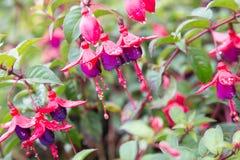 Lady eardrop flower with dew. Lady eardrop flower with raindrop Royalty Free Stock Photo