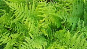 Lady Fern Array in Bright Kelly Green Stock Photos