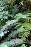 Lady fern ( Athyrium filix-femina ) and Sword fern ( Polystichum Stock Photography