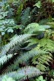 Lady fern ( Athyrium filix-femina ) and Sword fern ( Polystichum Stock Photography