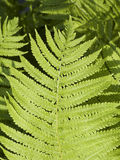 Lady Fern Frond Royalty Free Stock Photography