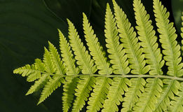 Lady Fern Frond Stock Images