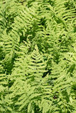 Lady fern Royalty Free Stock Photography