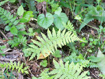 Lady fern Stock Image