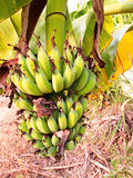 The lady finger banana. Worldwide, there is no sharp distinction between bananas and plantains. especially in the americas and europe, banana usually refers to Royalty Free Stock Images