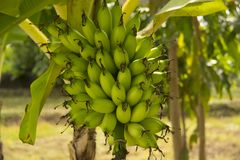 Lady Finger bananas. Also known as Sugar bananas, Sucrier, Niños, Bocadillos, Fig bananas, or Date bananas are diploid cultivars of Musa acuminata.Their royalty free stock image