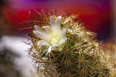 Lady Finger Cactus Flower Stock Photos