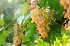 Lady Finger Grapes Royalty Free Stock Images