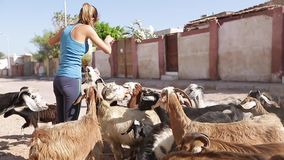 Lady with goats. Lady feeding the herd of goats stock video footage