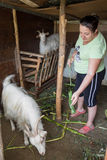 Lady and goats Royalty Free Stock Photo