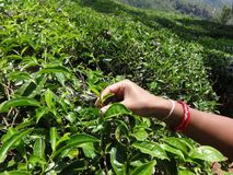 Lady going to break tea leaf close view. This snap is from tea ooty india. Awesome tourist place that you always love that is so awesome Stock Photos