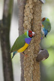 Lady Gouldian Finch Stock Photos
