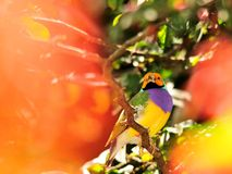 Lady Gouldian Finch Bird Stock Images