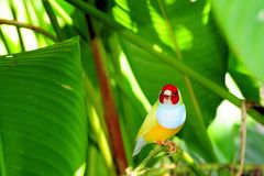 Lady Gouldian finch bird Stock Photos