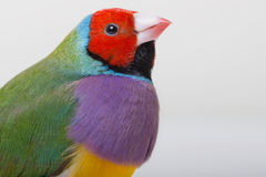 Lady Gouldian Finch Stock Photography