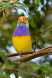 Lady Gouldian Finch (Erythrura gouldiae ) Royalty Free Stock Photography