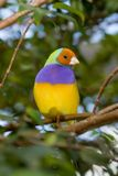 Lady Gouldian Finch (Erythrura gouldiae ) royalty free stock photo