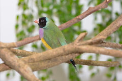 Lady Gouldian Finch Stock Photo