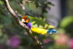 Lady Gouldian Finch perched - Erythrura gouldiae Stock Photo