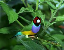 Lady Gouldian Finch on a Plant stock photography