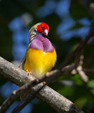 Lady gouldian finch Royalty Free Stock Photo
