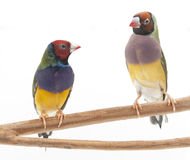 Lady Gouldian Finches Royalty Free Stock Photography