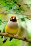 Gouldian Finch Royalty Free Stock Photos
