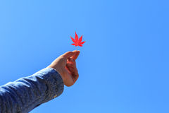 Lady hold up a red maple lead Royalty Free Stock Image