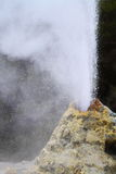 Lady Knox Geyser. Erupting in Rotorua, New Zealand Royalty Free Stock Images