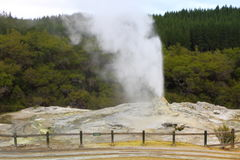 Lady Knox Geyser. Erupting in Rotorua, New Zealand Royalty Free Stock Photography