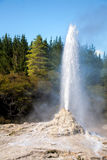 Lady Knox Geyser in New Zealand. Lady Knox Geyser erupting at Wai-O-Tapu  geothermal area in New Zealand Stock Photos
