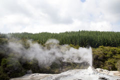 Lady Knox Geyser in New Zealand. Eruption of Lady Knox Geyser on the North Island in New Zealand Royalty Free Stock Image