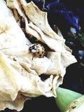 The lady. Ladybug on a  rose Royalty Free Stock Image