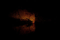 Lady Leopard Lapping Royalty Free Stock Images