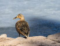 Lady Mallard sitting on the rocks next to her frozen over pond stock photography