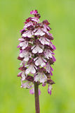 Lady orchid Stock Photo