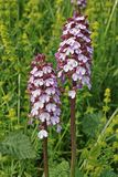Lady orchid. Flowering plants of lady orchid Royalty Free Stock Photo