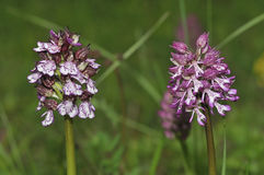 Lady Orchid and Hybrid Royalty Free Stock Photo