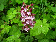 Lady Orchid Stock Image
