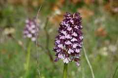 Lady orchid Royalty Free Stock Image