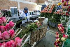 A lady packs roses ready for export at the Hacienda La Compania Roses Plantation near Cayambe in Ecuador. Royalty Free Stock Photography