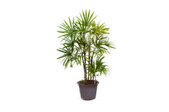 Lady palm stock image