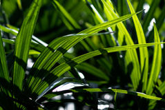 Lady palm leaf close up Royalty Free Stock Images